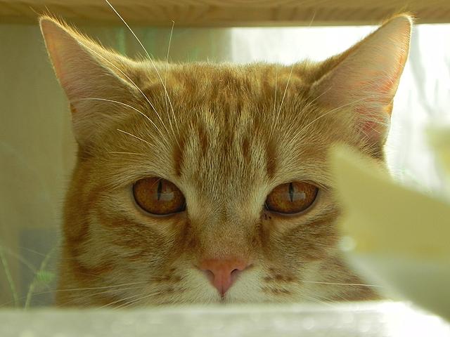 Кот ждёт, пока для него приготовят вкусные роллы, хотя пока и не знает, что ему ничего не достанется